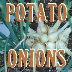 All about potato onions