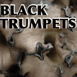 Black trumpet mushrooms, picking, drying and eating