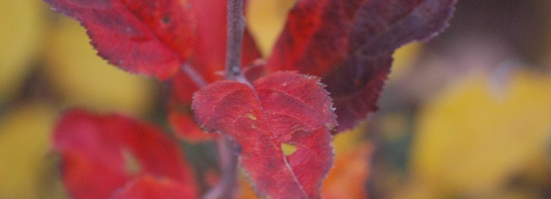Red fall leaves on one of my seedling apples