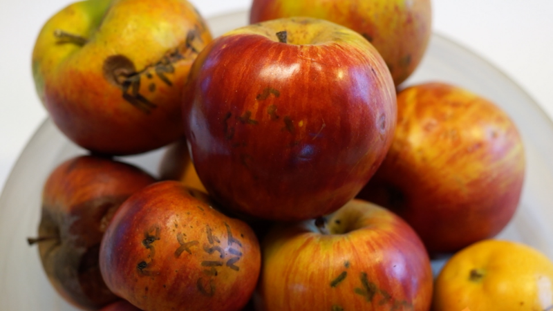 If the apples rot, the seeds will eventually follow. Some rot is okay, just don't let them go too far.