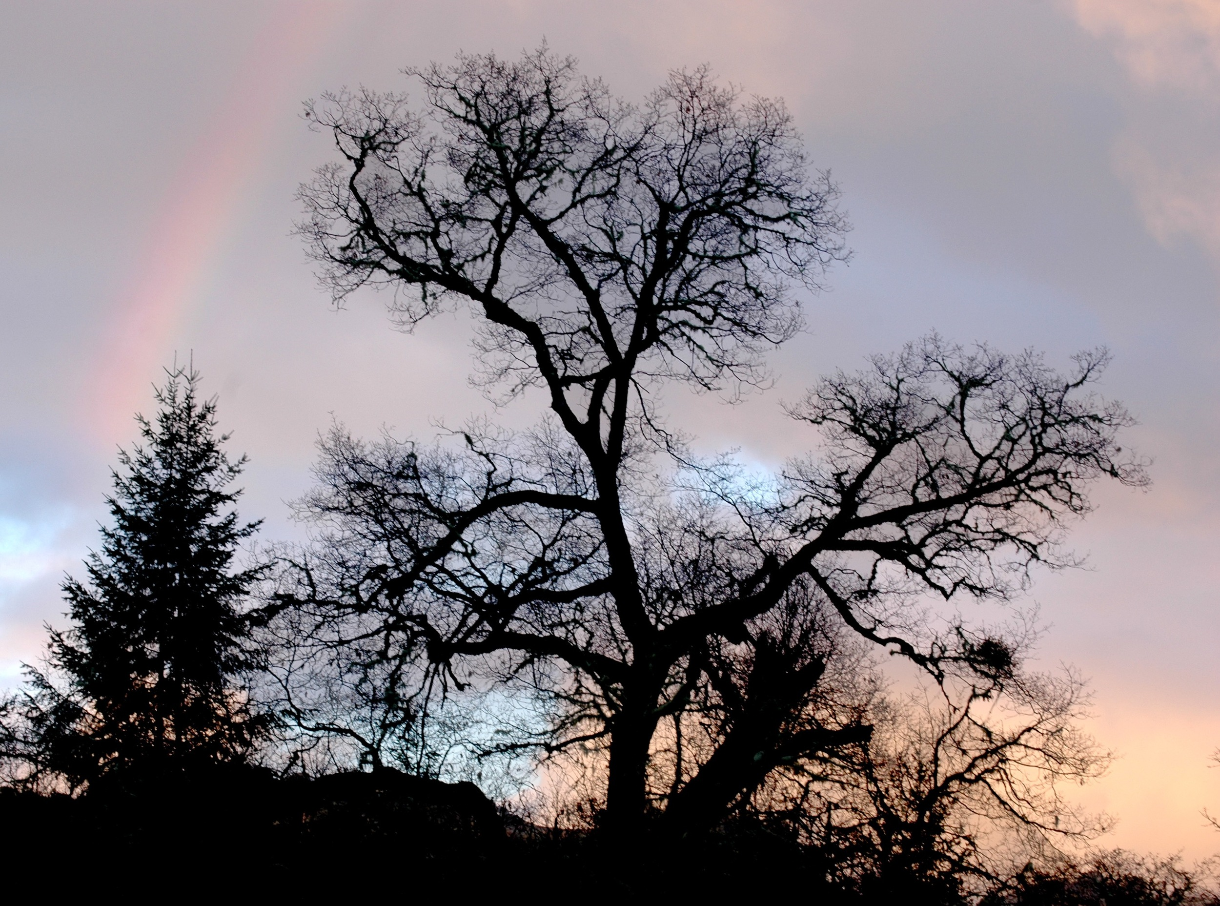 Black oak with rainbow. Yet another large section of this tree just fell off and is going to take some creative and thoughtful planning to clean up safely. Should make a good episode for my new Homestead Life category, being for snippets of life and incidents here. Also should provide some nice wood for making stuff and some bark for tanning. The early tanning industry in California was apparently using Black and White Oaks. Later they switched over to Tan Oak which is what I mostly use now. My use of Black Oak has so far been promising.