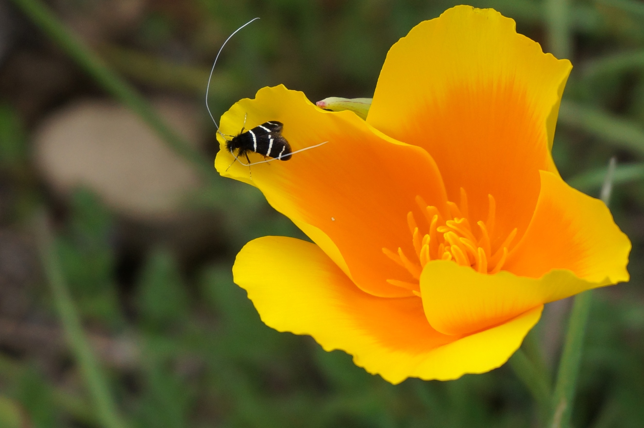 This species of bug hangs out on california Poppies in the spring. I'm pretty sure the black and white bands mean DO NOT F*** WITH ME! The antennae wave wildly in the slightest breeze. I had some amazing macro video footage of these, but it was all lost.
