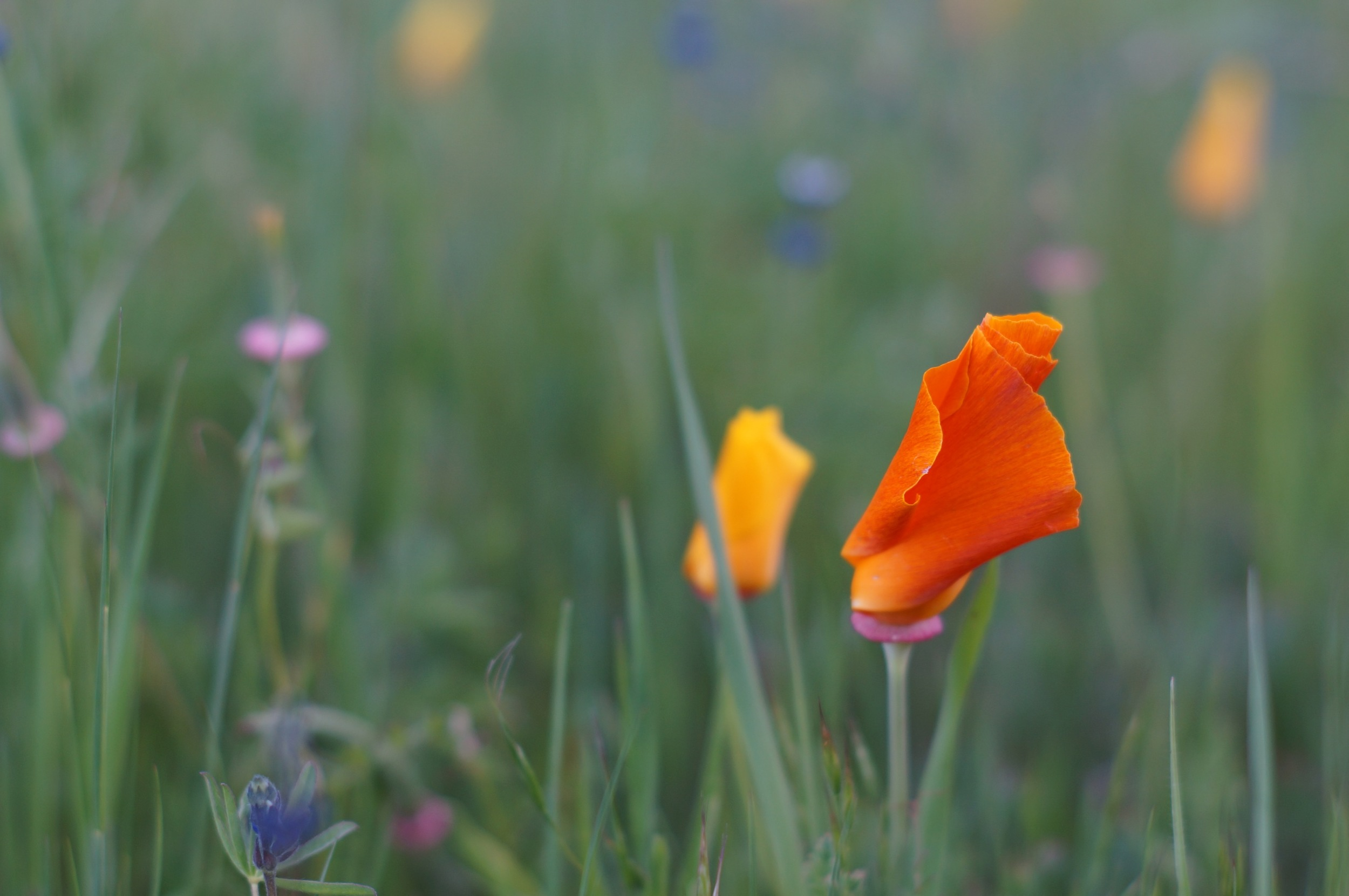 Furled California Poppy. One of my favorite photographs of the year.