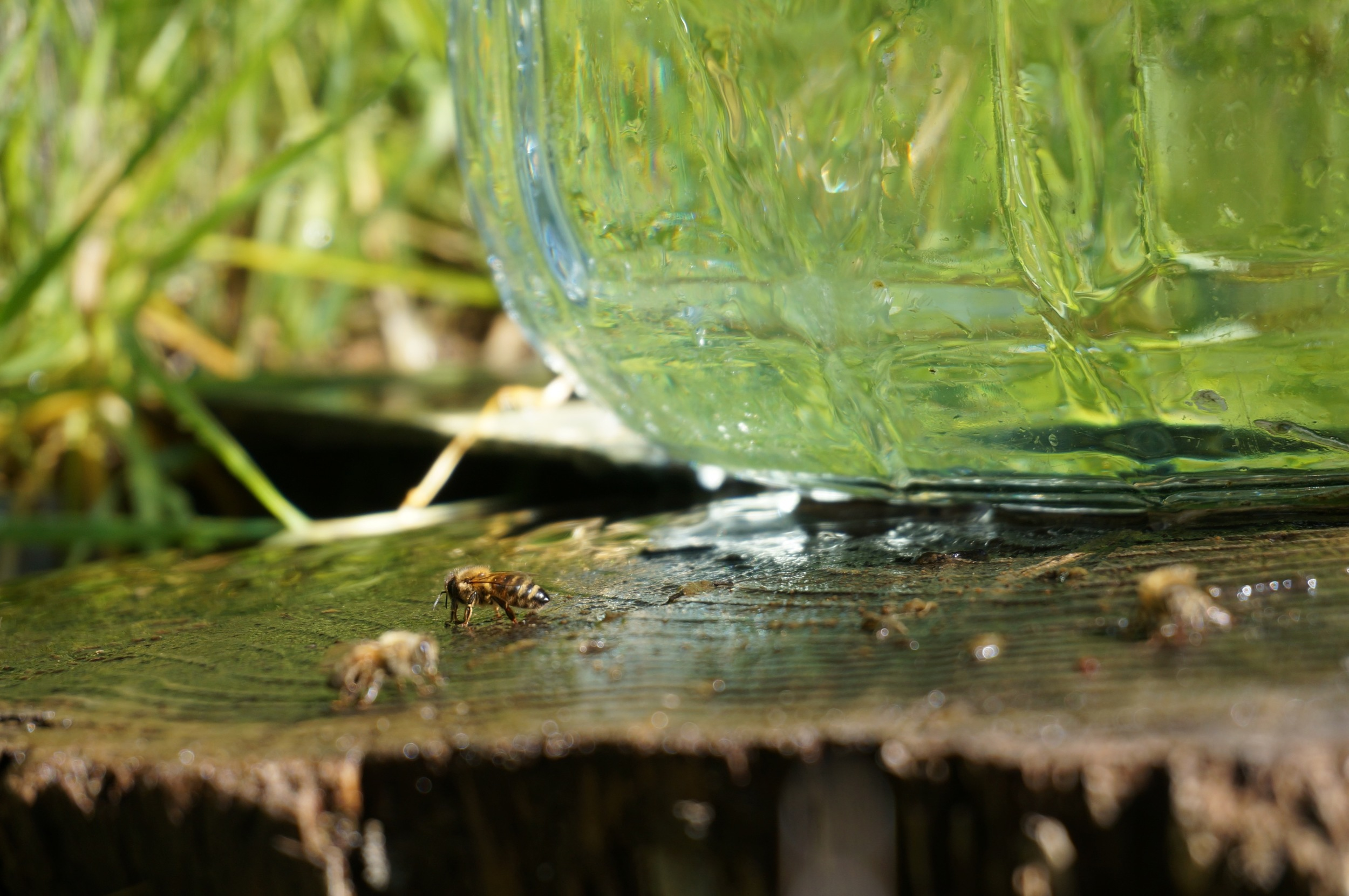 Bees getting a drink at the spring.