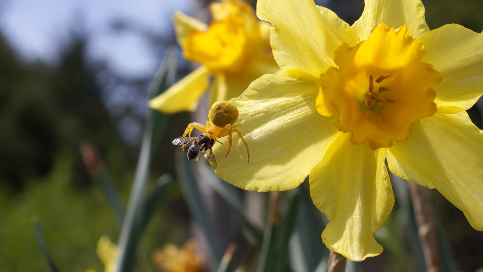 Daffodil spider. Strong enough to catch honey bees. They are yellow on yellow flowers and white on white flowers. I guess they change color. This one has a small native bee.
