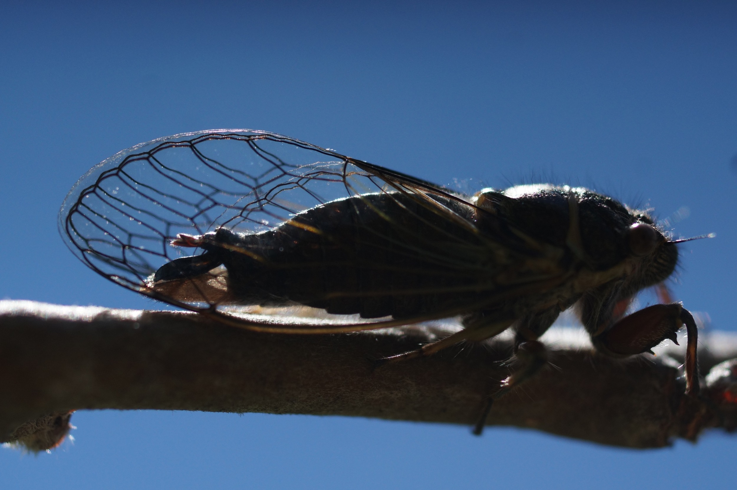 Cicada on an apple branch, which they cause a lot of damage to by laying eggs in slits the cut.