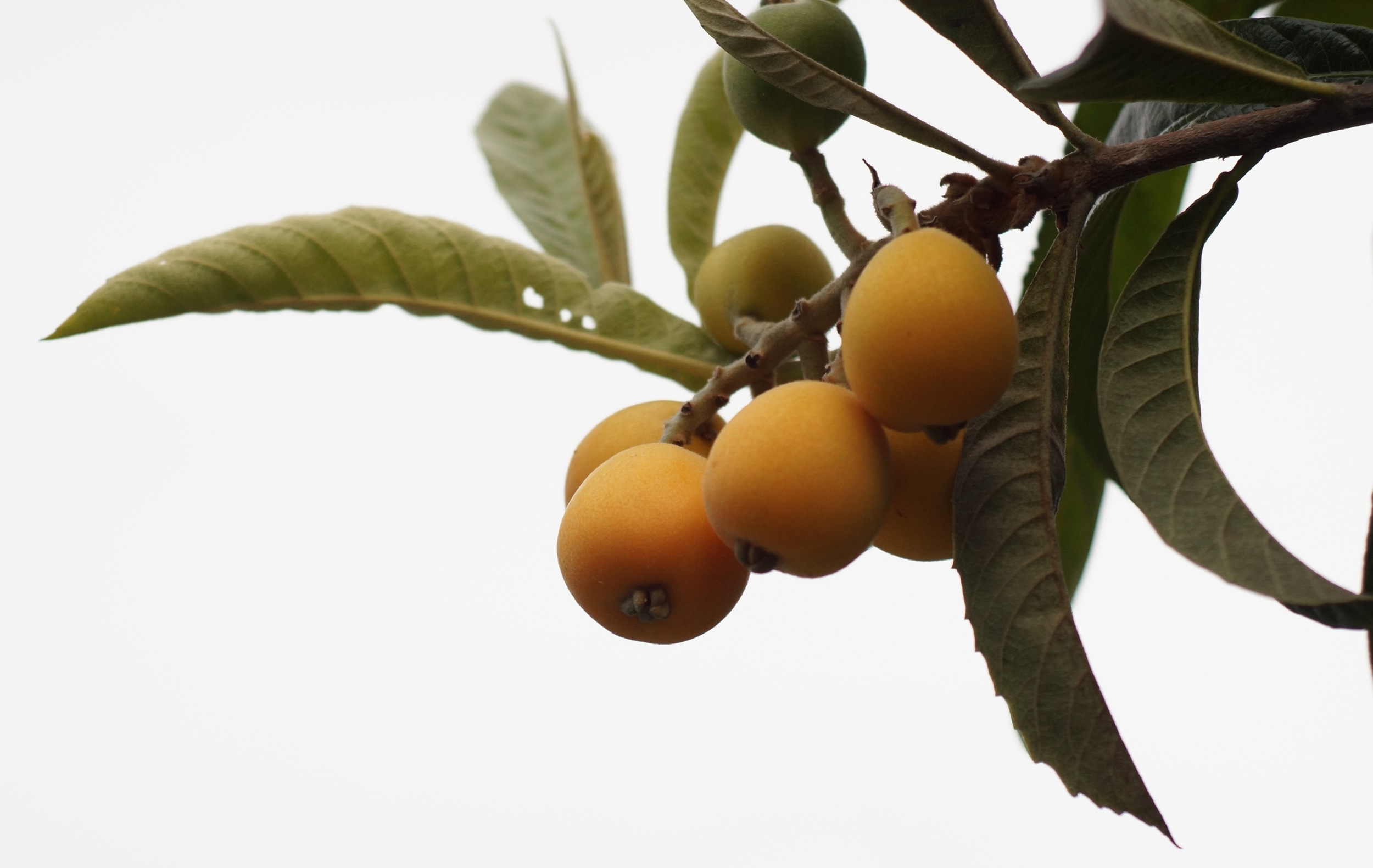Loquats! Large, delicious variety.