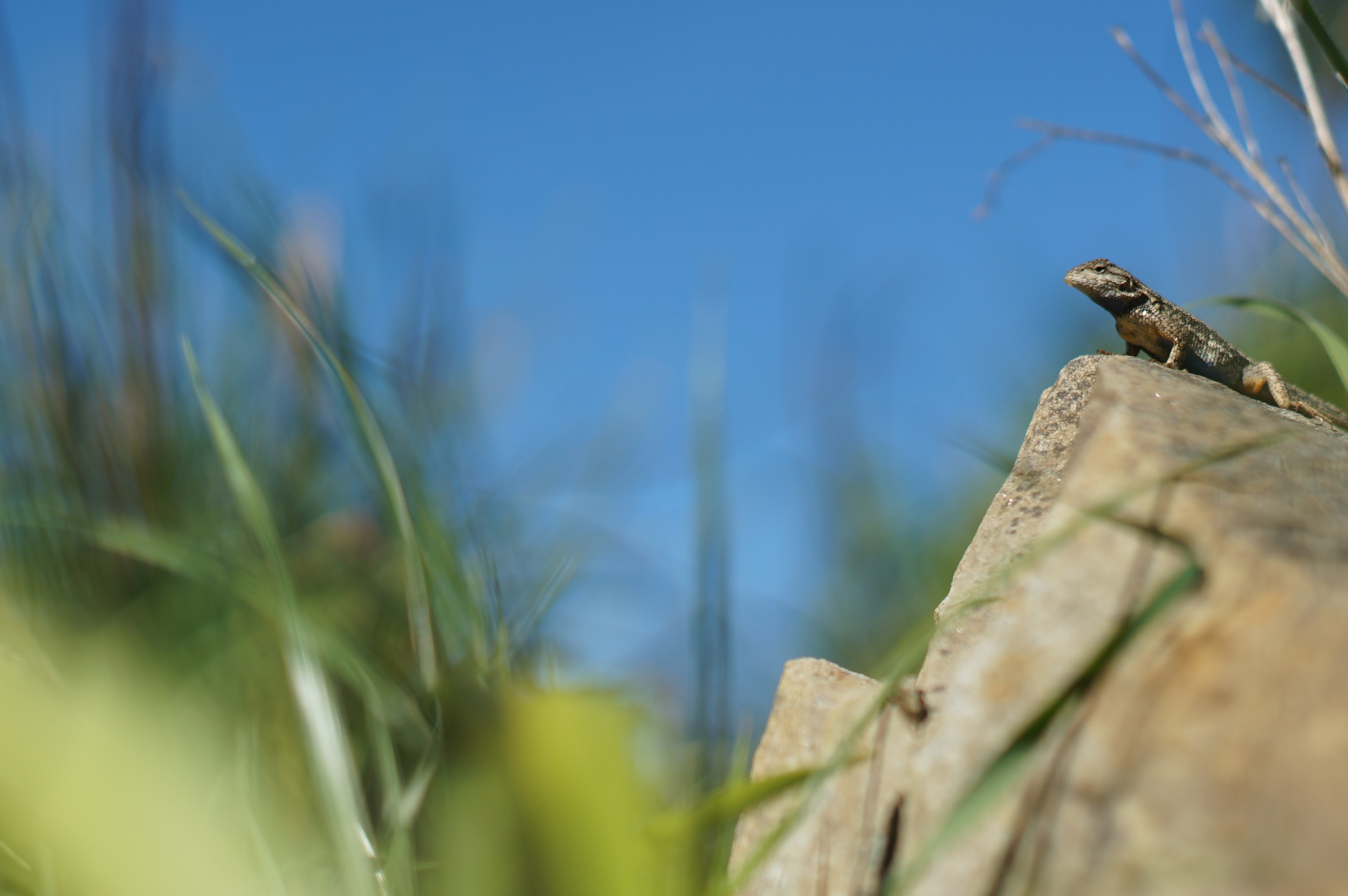 Lizard playing king of the hill... with itself. But it's winning!