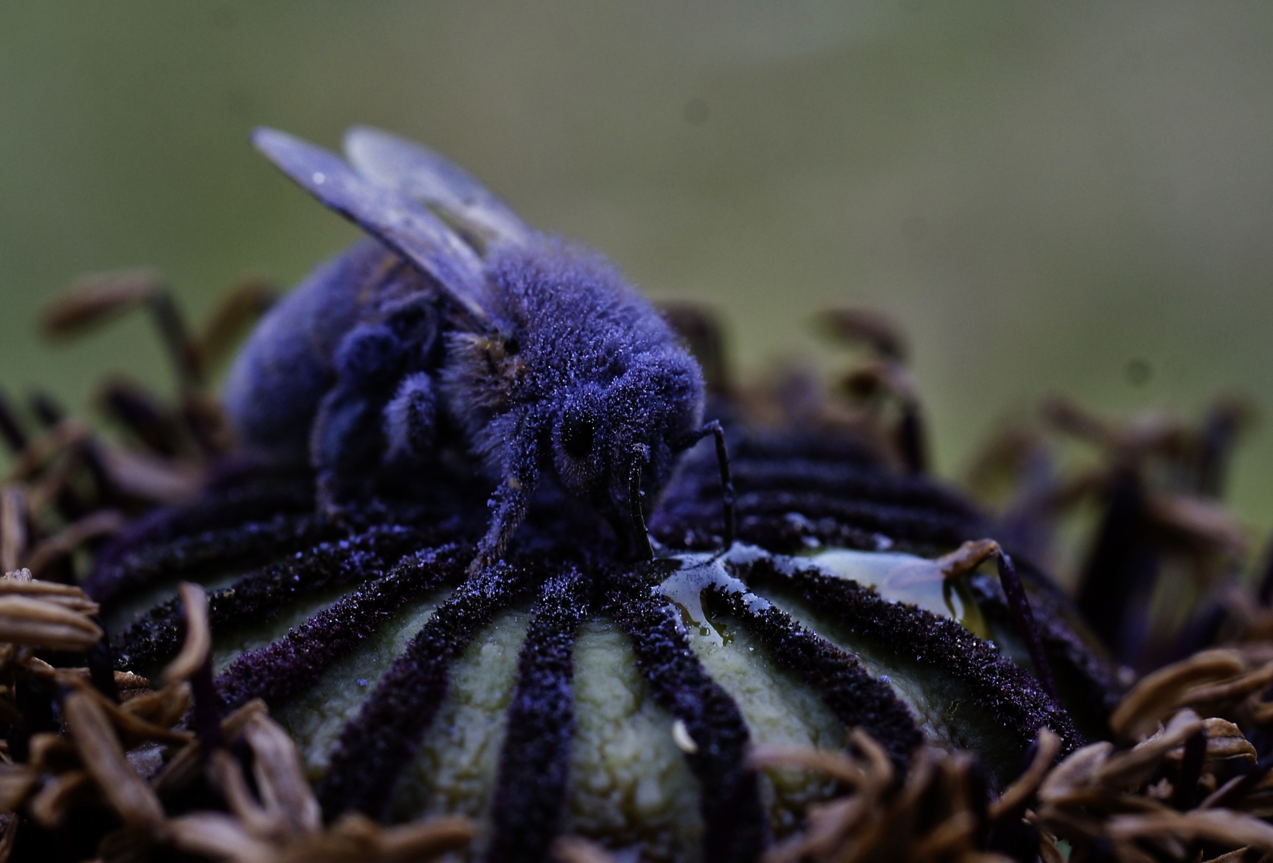 Weary bee sipping some honey on a poppy pod.