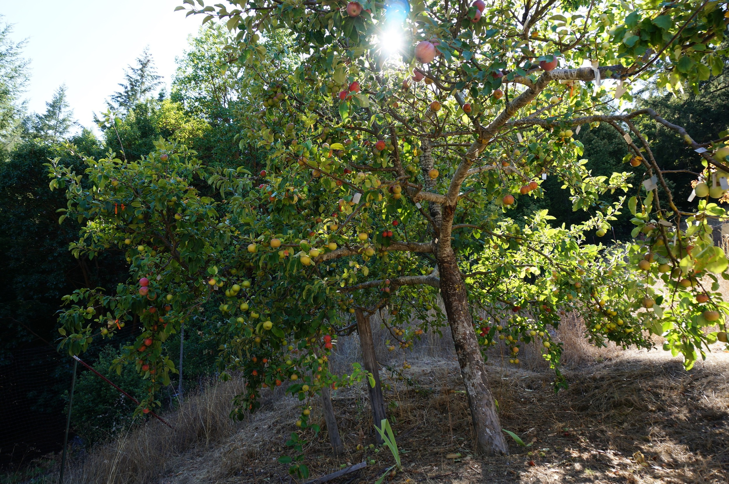 !Frankentree! had at least 85 varieties in fruit this year.  Tour video here