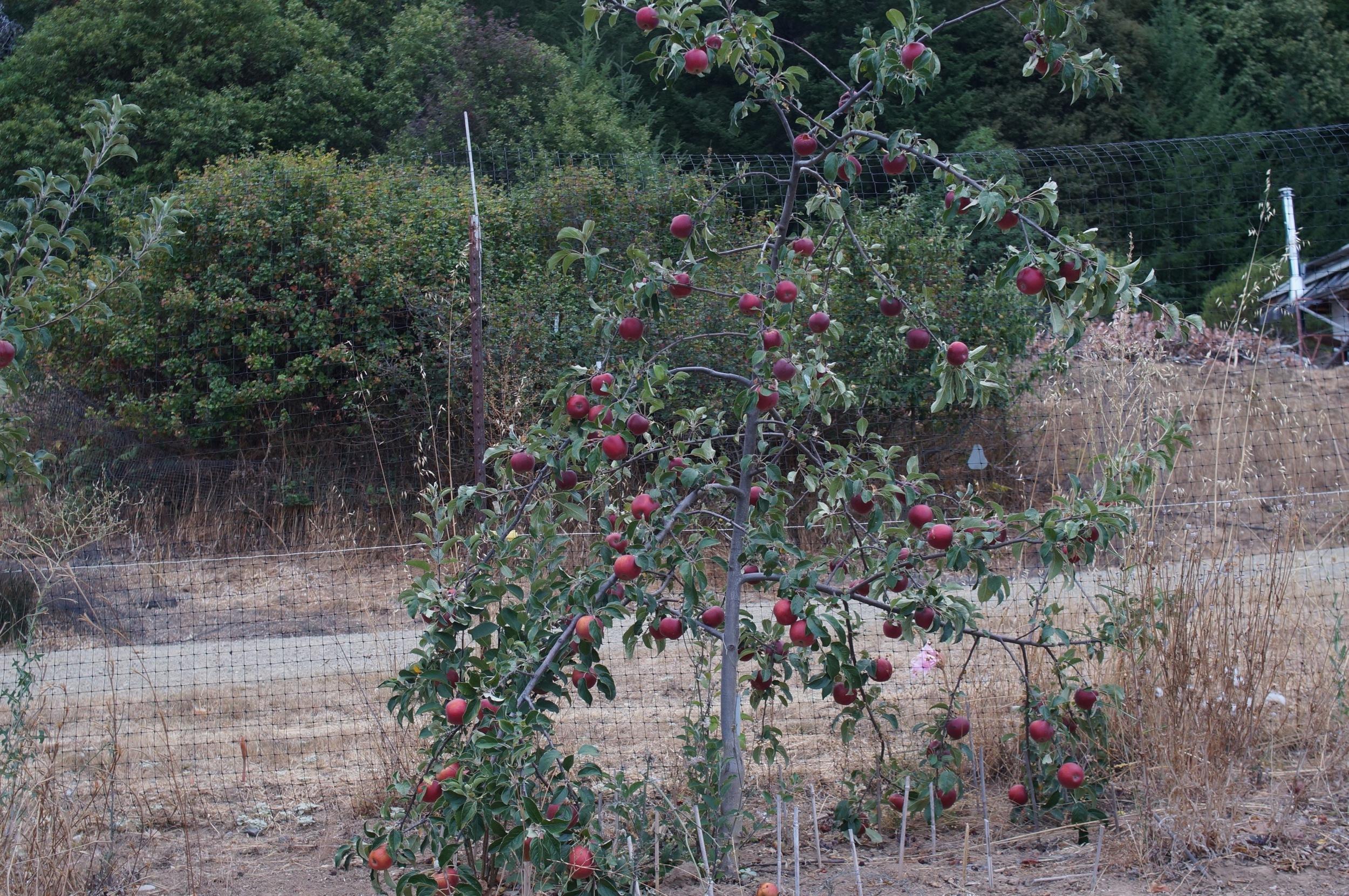 Laden King David  interstem grafted tree