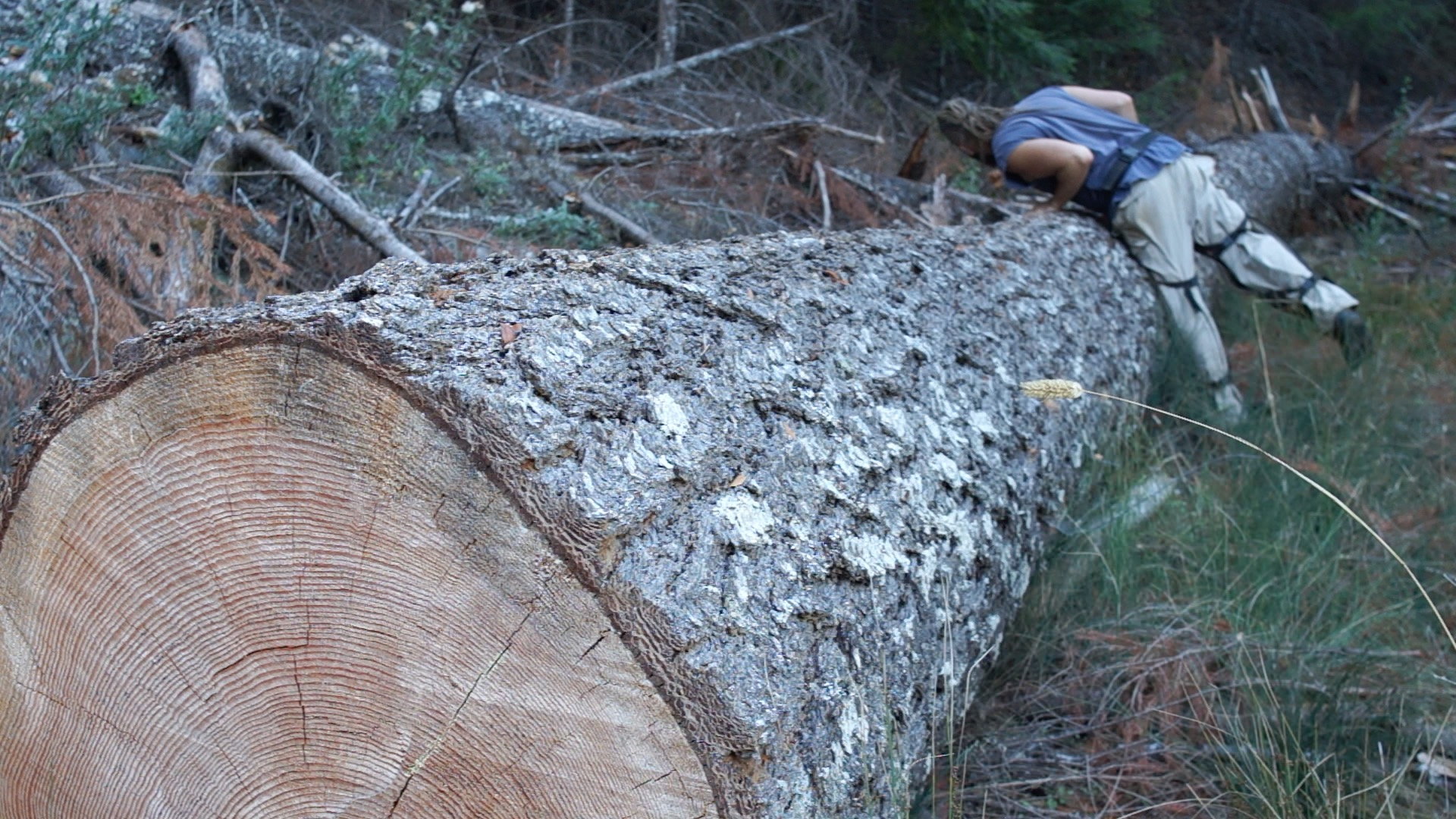 A big fir tree at my neighbors that I hope to make some stuff out of in 2016. It isn't fine old growth quality, but it's pretty good and big enough to get some nice vertical grain planks out of.