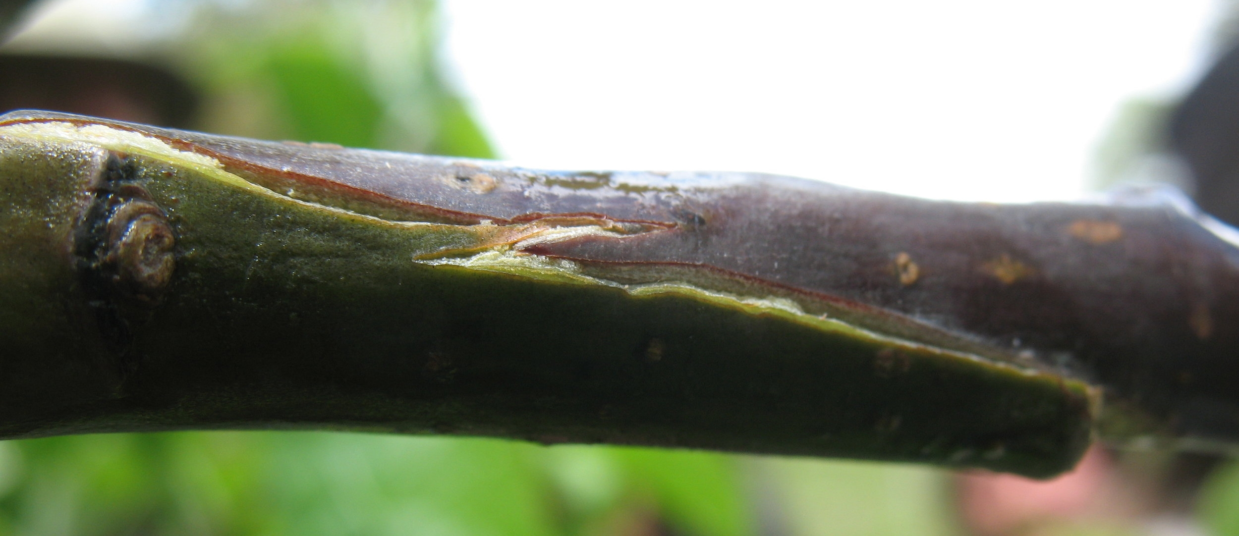 partially healed graft