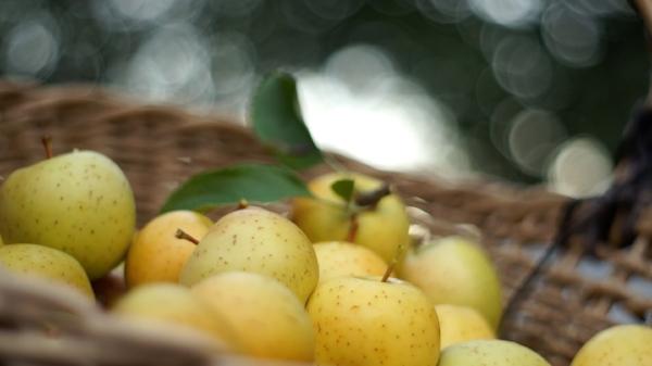 gold rush apple 11.jpg