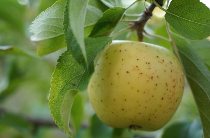 gold rush apple 09.jpg