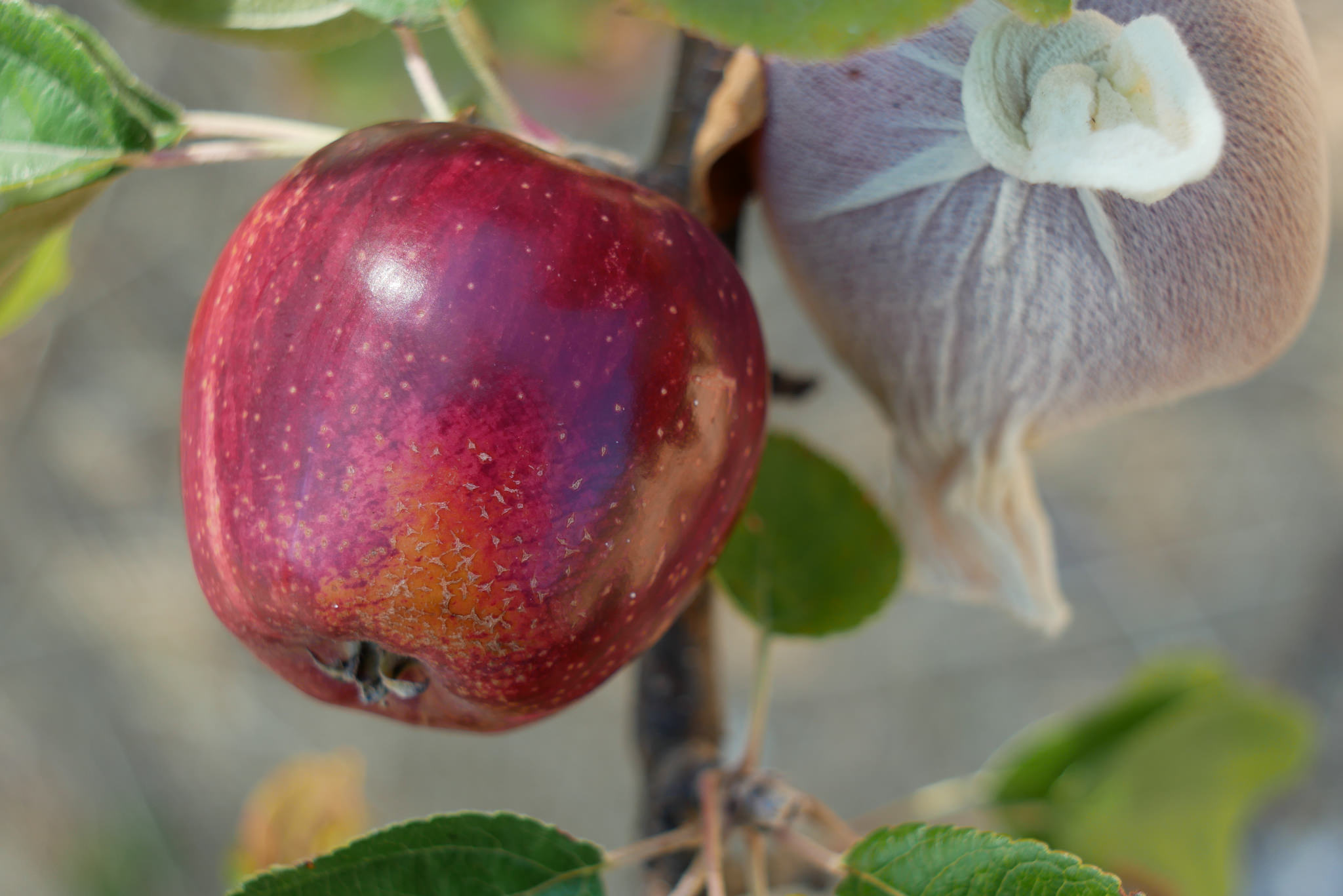 Seedling Apple