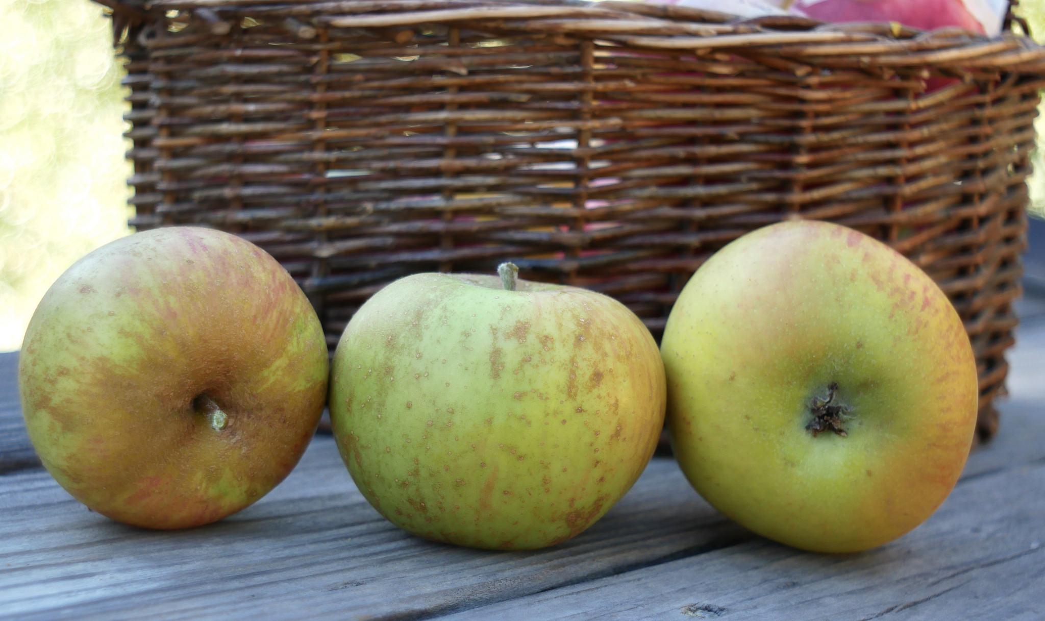 Zabergau Reinette Apple Variety