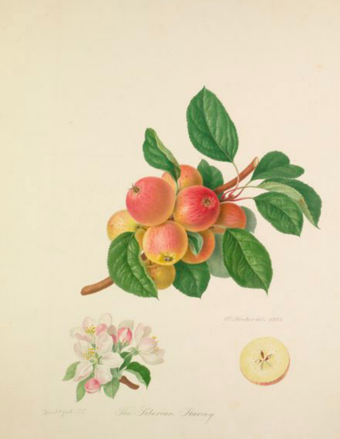 THE SIBERIAN HARVEY. Check out the RHS collection of apple watercolors here!  https://www.rhs.org.uk/education-learning/libraries-at-rhs/collections/library-online/heritage-apples/hookers-paintings