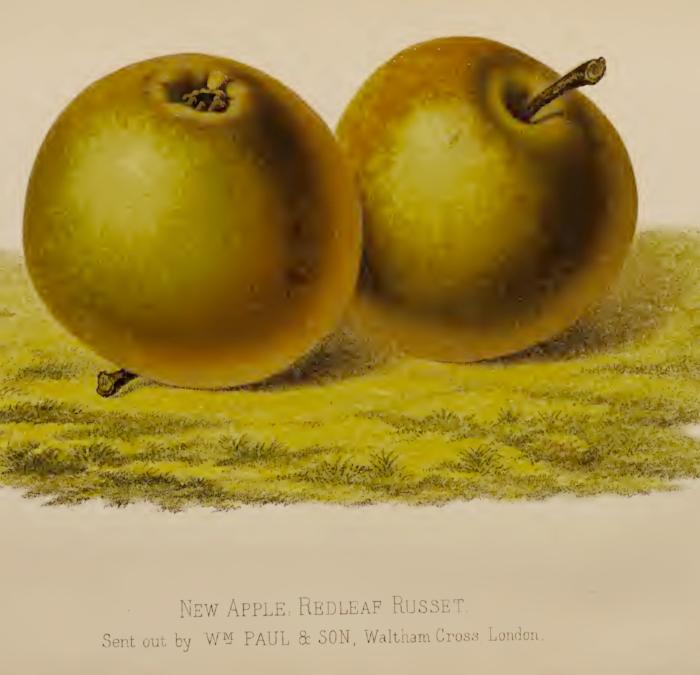 REDLEAF RUSSET, POSSIBLE OFFSPRING OF GOLDEN HARVEY