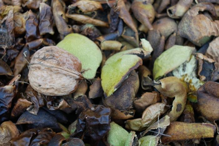 English, or Carpathian Walnut hulls. Allegedly 20% tannin content.