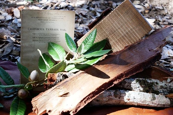 Tanbark oak, now usually just called tan oak. My staple tannin source.
