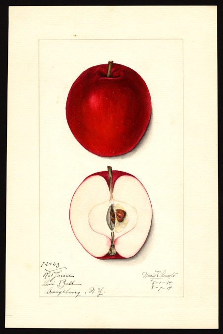 A watercolor painting of this apple from Early August 1914 under the name Red June. It has the same red flesh staining in the same location right around the calyx tube on the bottom end. The shape is very similar to those growing here.