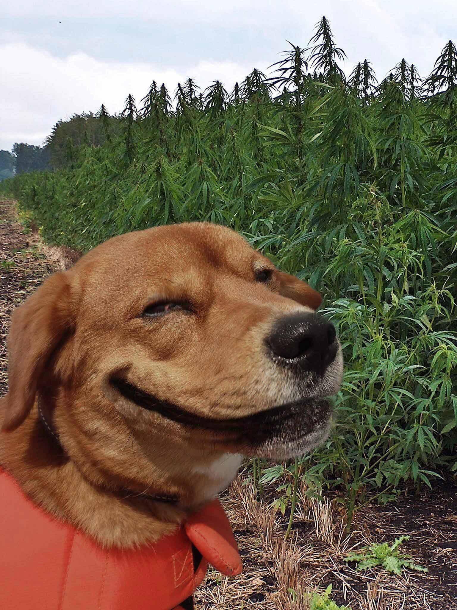 dog marijuana.jpg