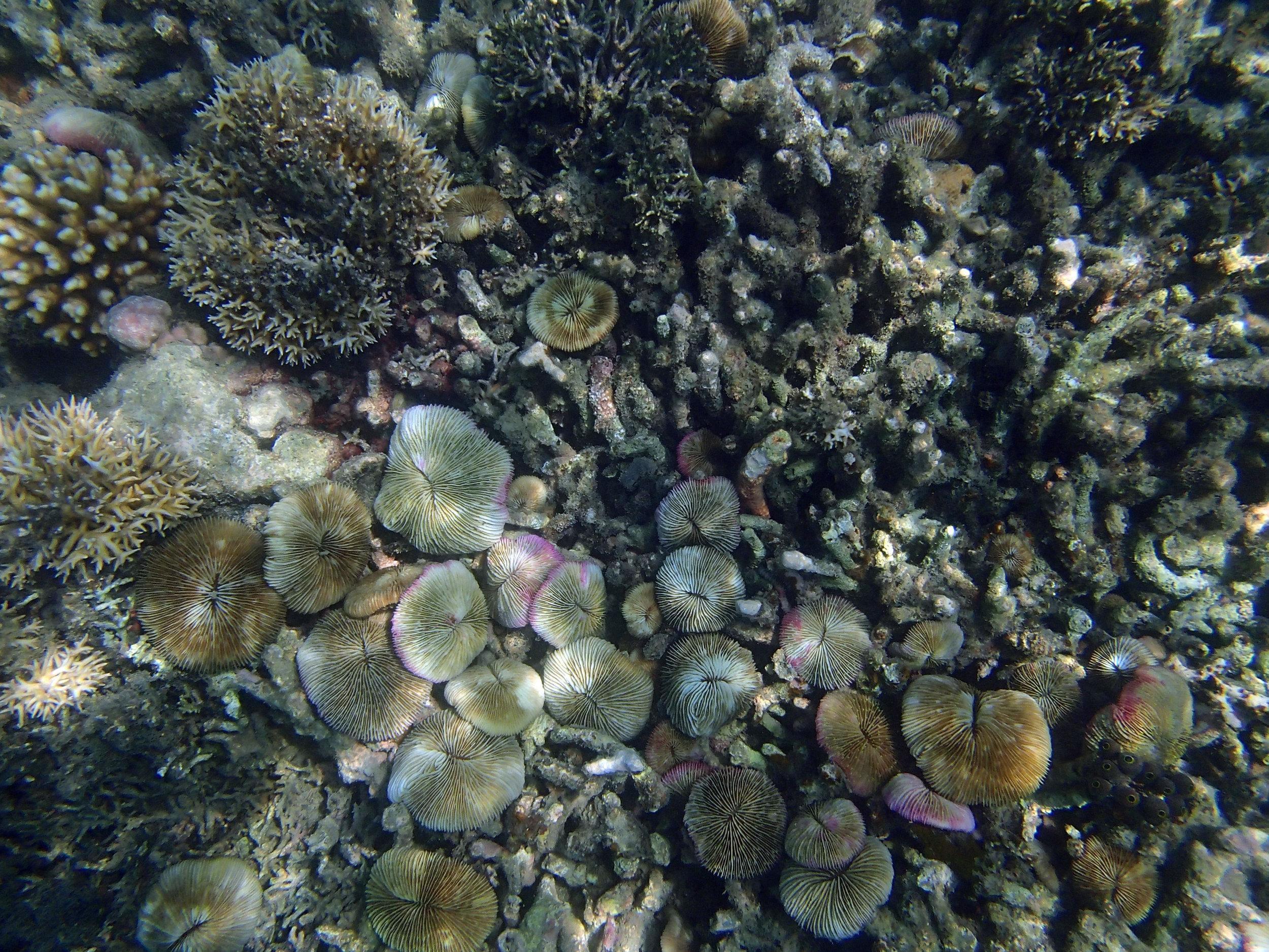 Gili Sudak Coral 2.jpg