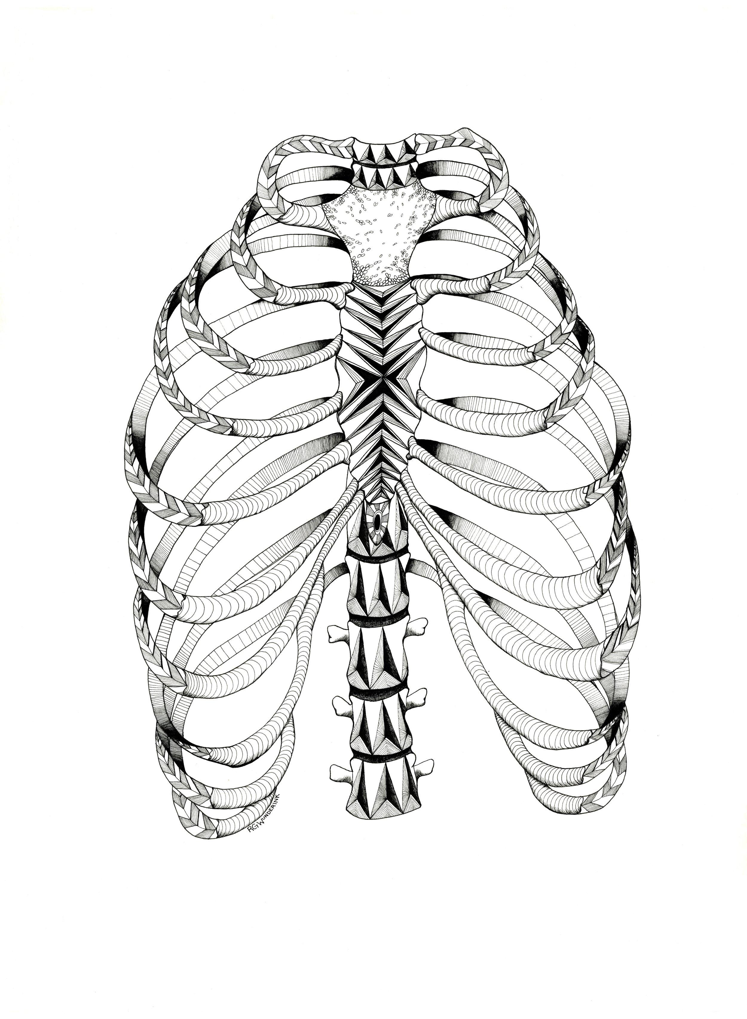 """anatomy: rib cage"""