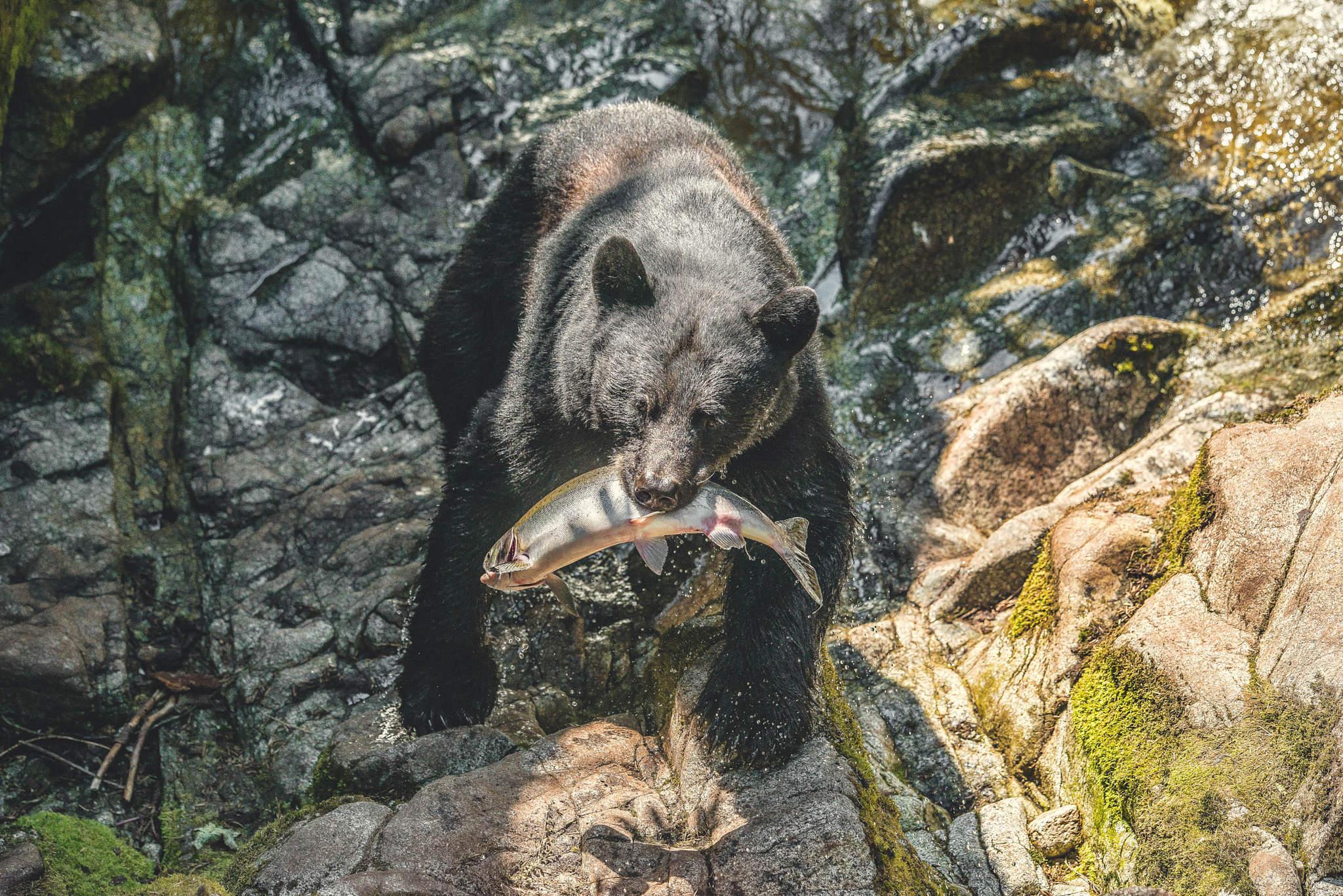 Black bear catching salmon at Anan Creek, Wrangel AK. 2015
