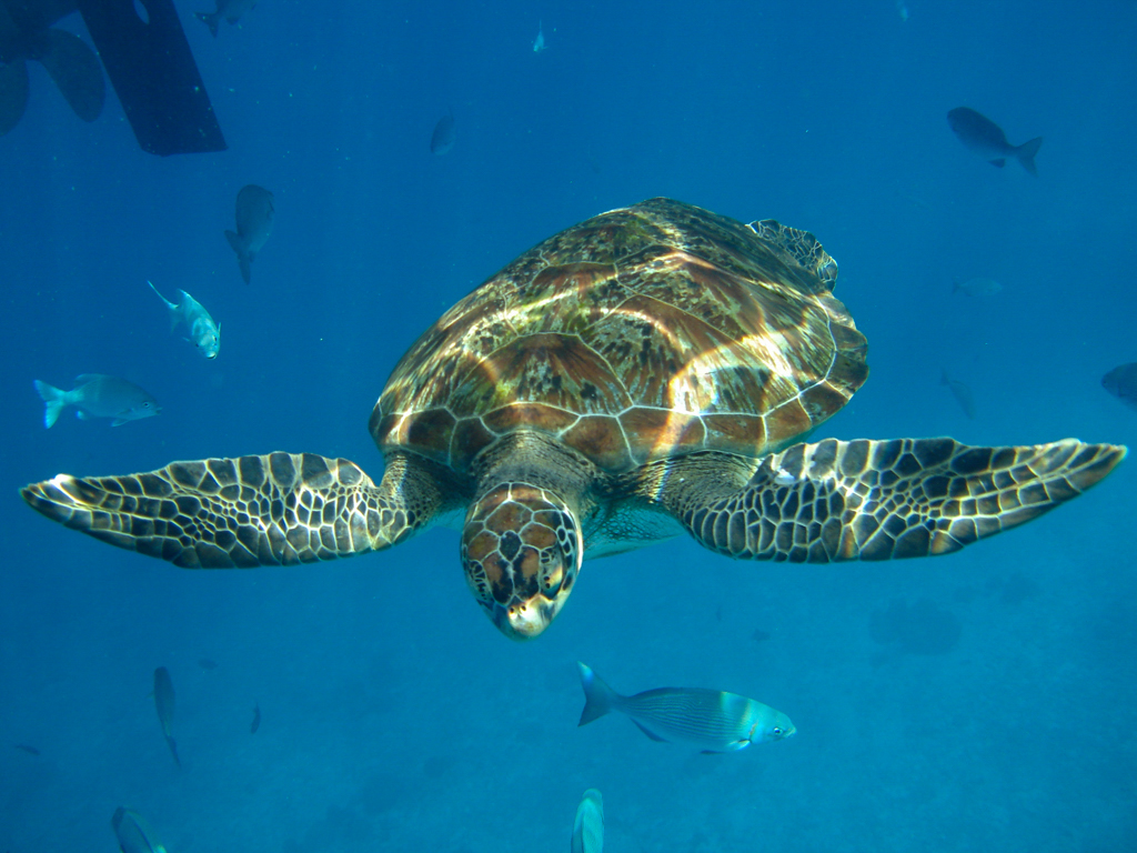Curious turtle in Donald Duck Bay, Similan Island, Thailand