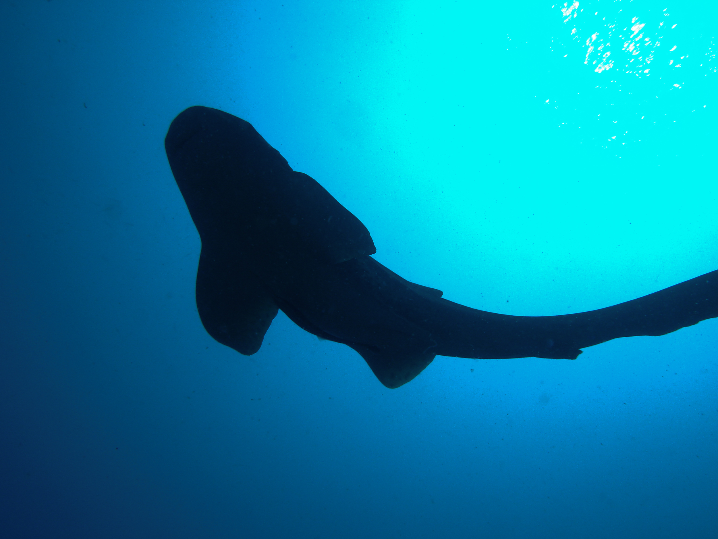 Leopardshark silhouette, Three trees, Similan Islands, Thailand