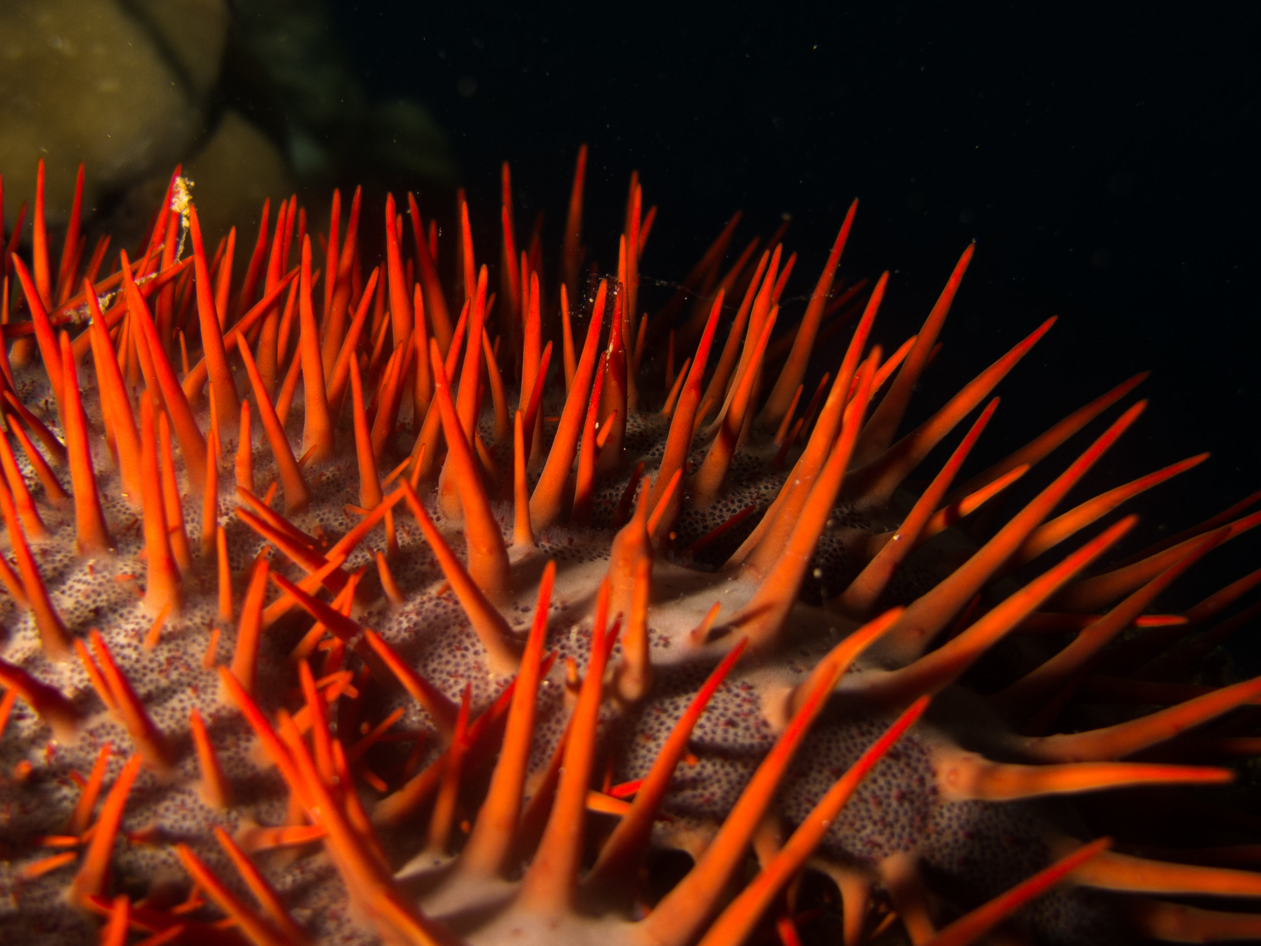 A Game of Thorns - Frequently Asked Questions about Crown-of-Thorns starfish, their population outbreaks and the vinegar method.