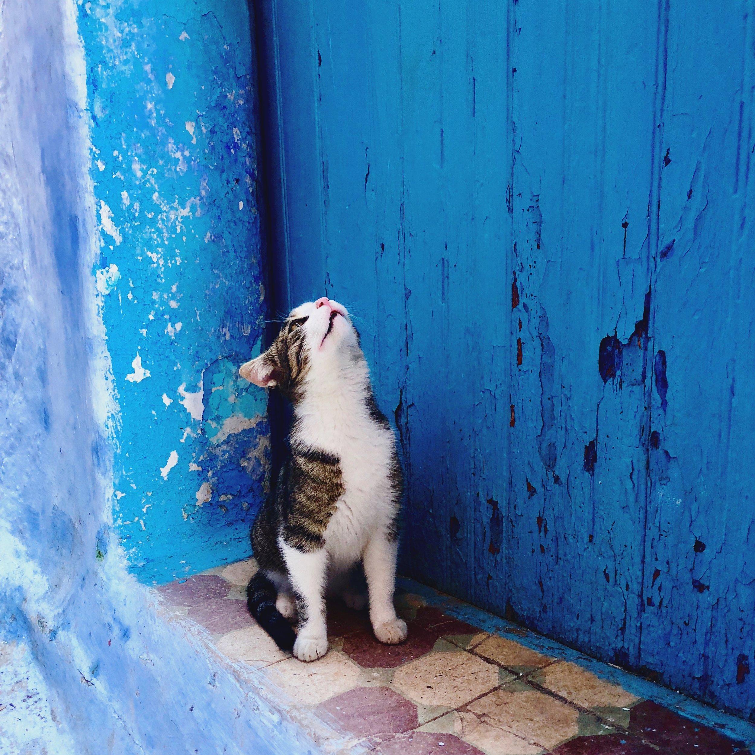 Blue Moroccan City Cat