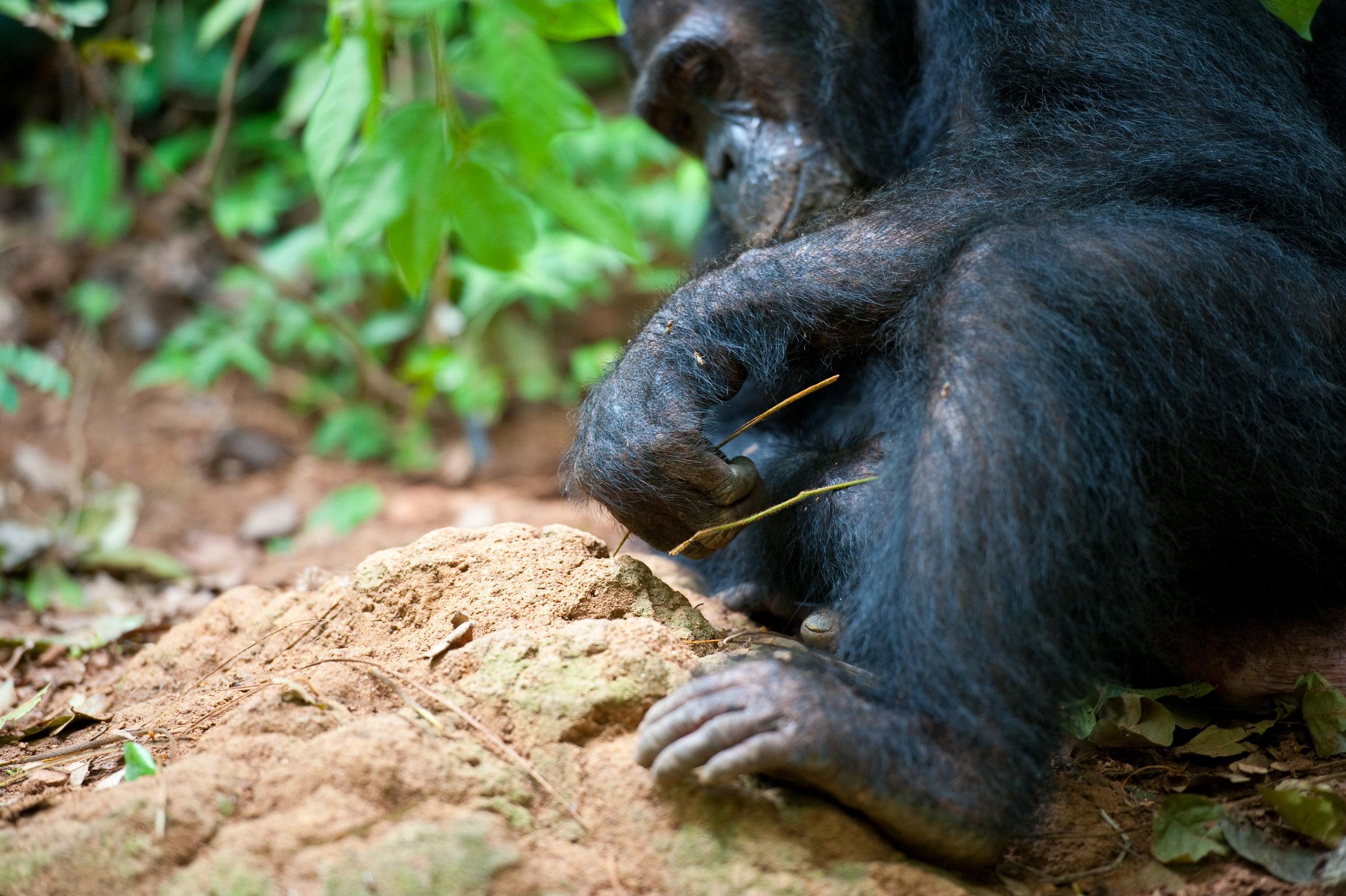 Chimps-35.jpg