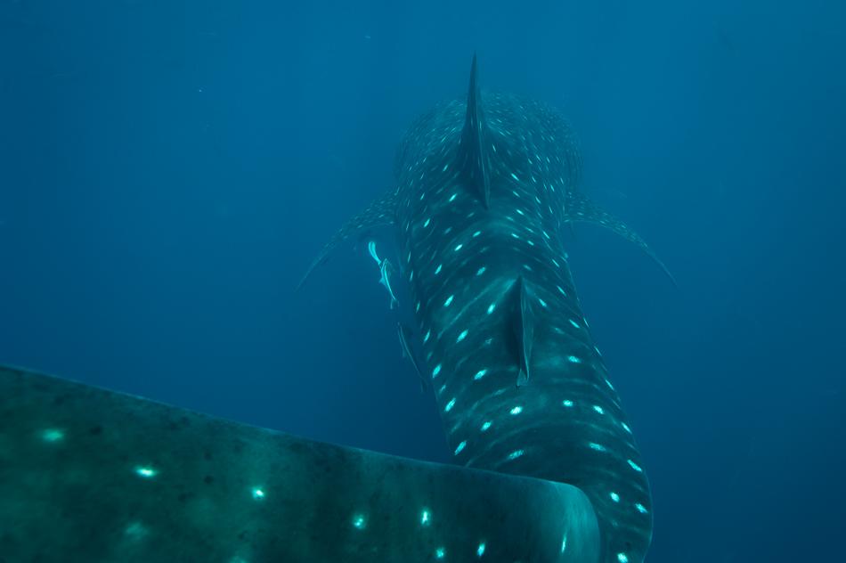 Whale Sharks Madagascar-11.jpg