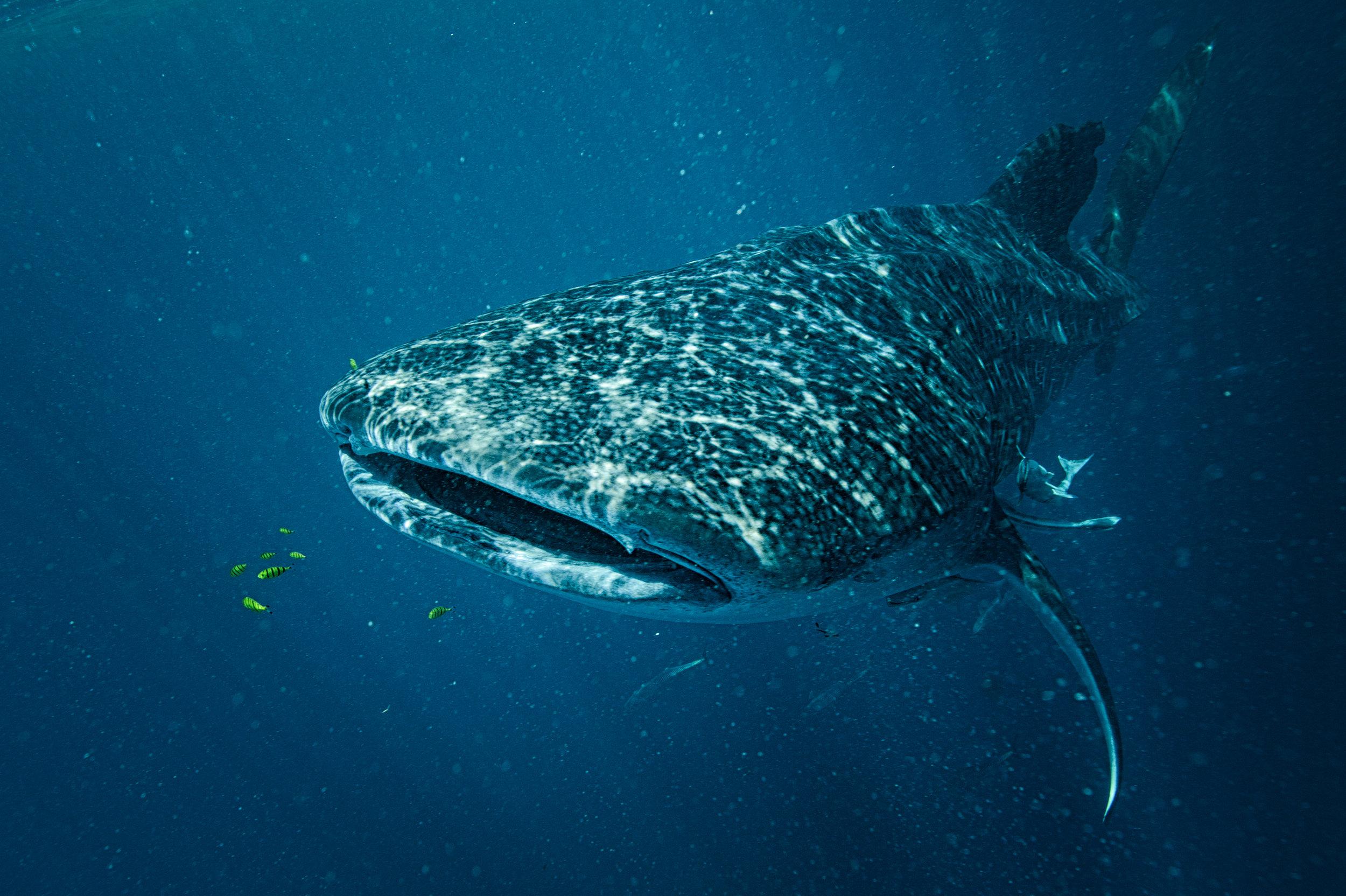 Whale Shark-1-3.jpg
