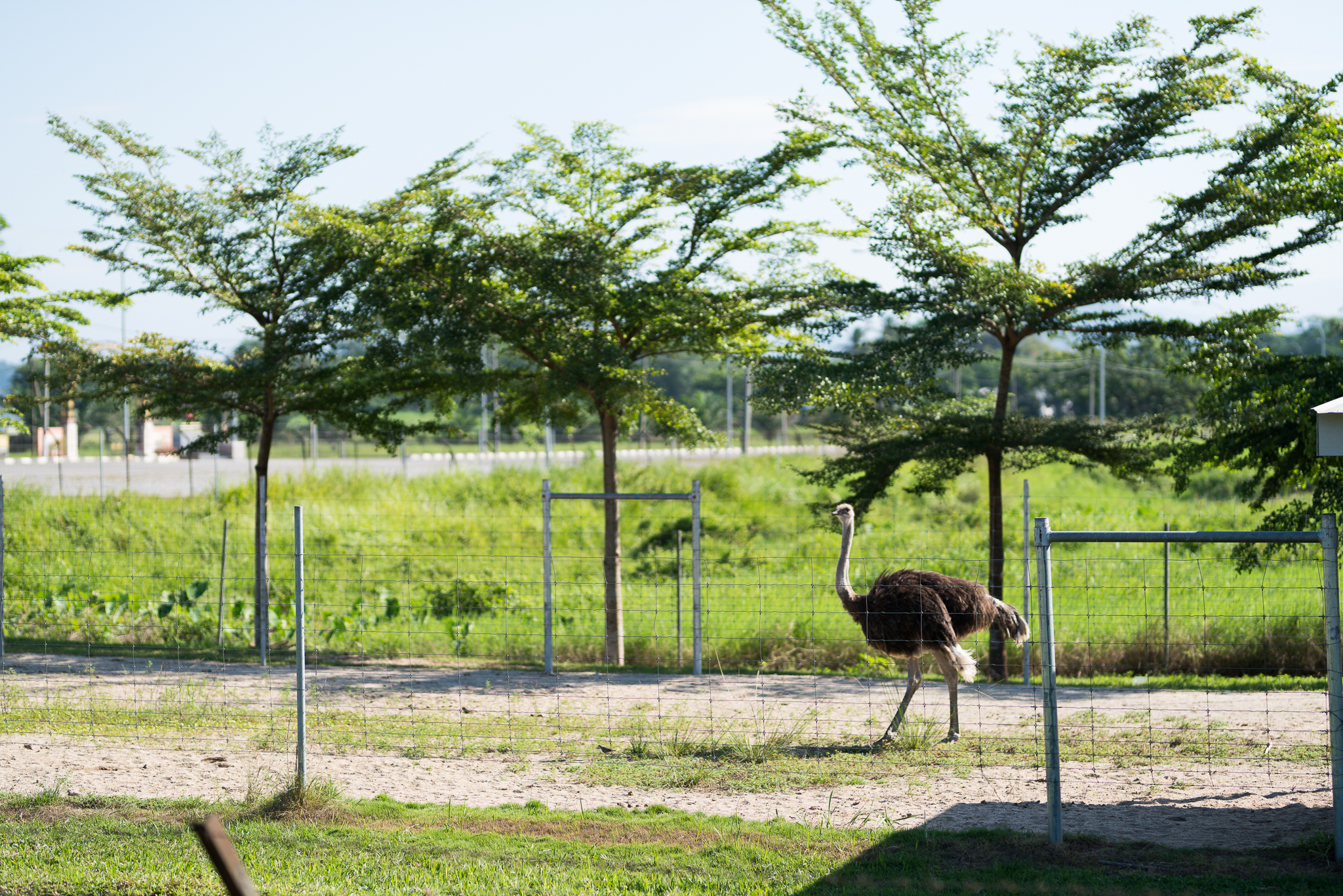 Ostriches by the side of the road! They're like big chickens.
