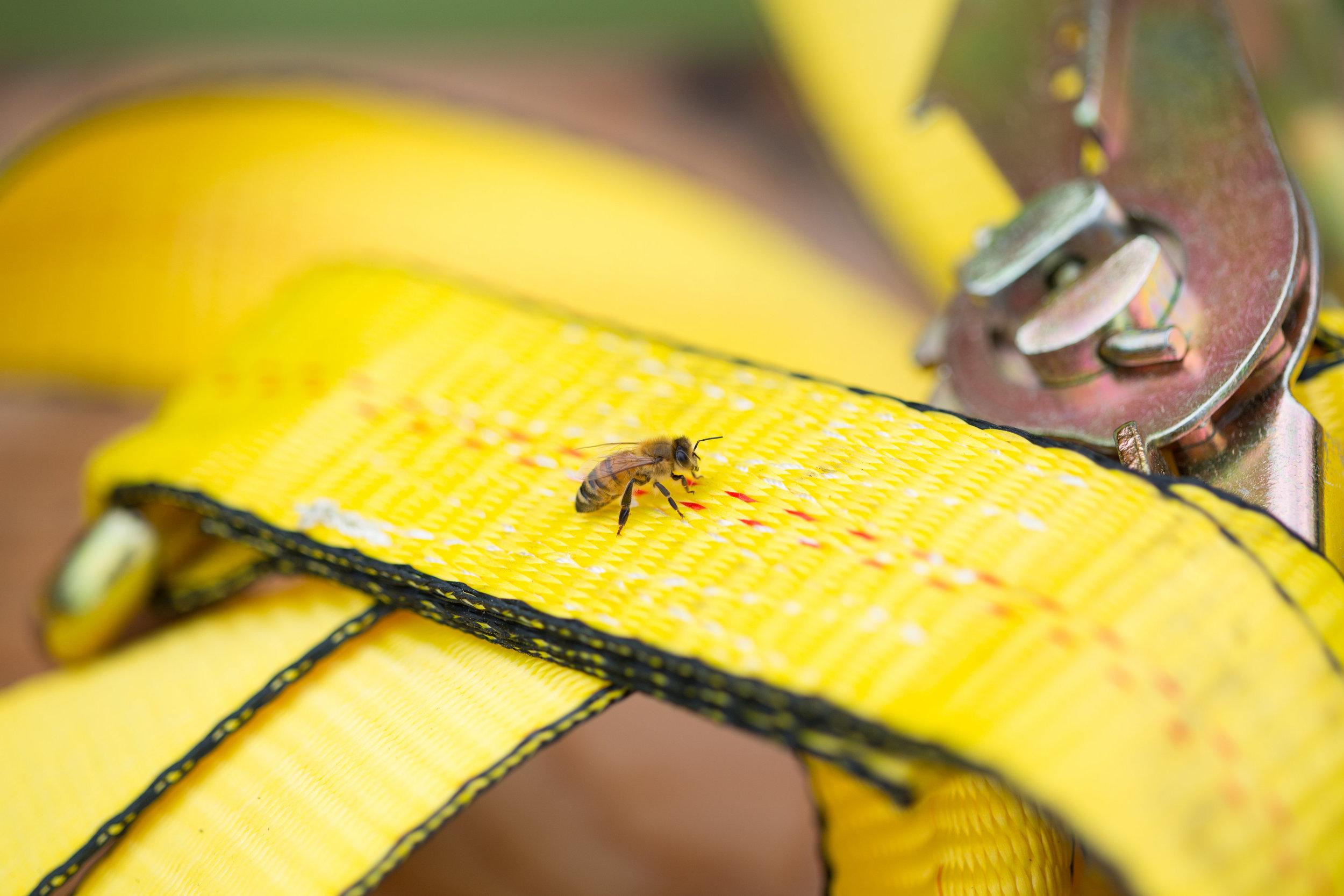 bee whyld honey bee