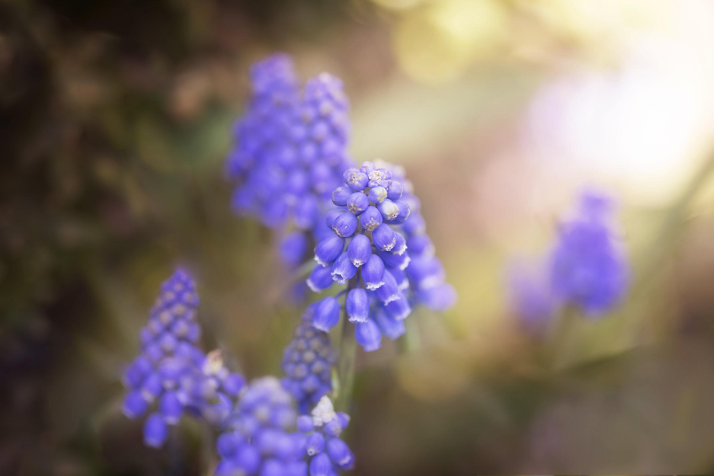 purple clusters.jpg