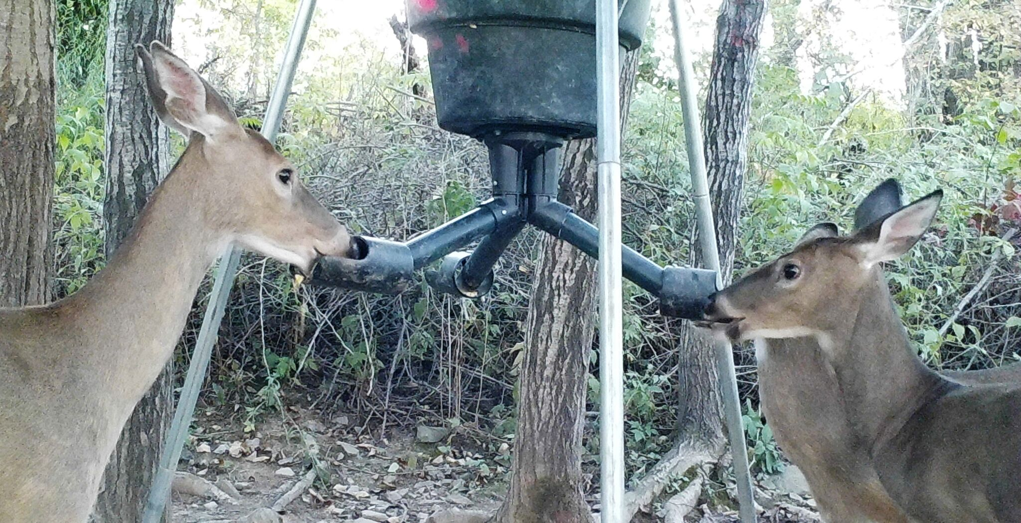 doe_and_fawns_at_feeder1.jpg