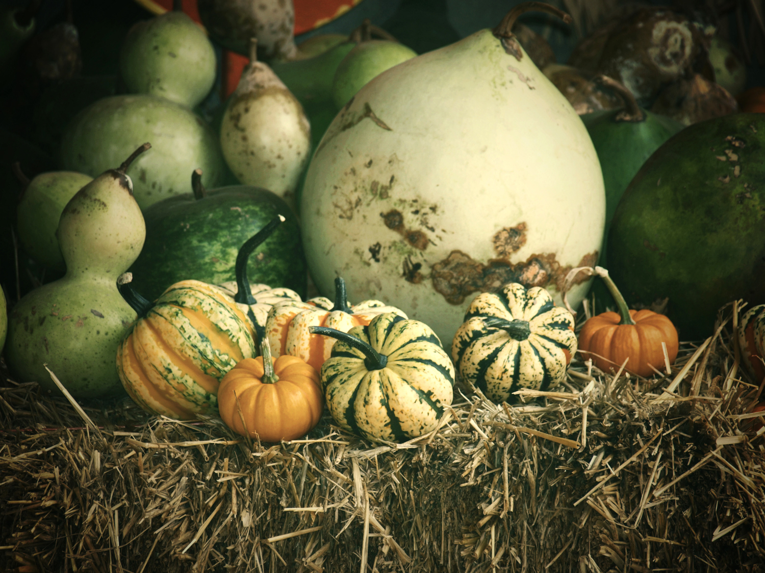 A plethora of gourds and pumpkins ring in Autumn at Ganyard Hill Farm in Durham, North Carolina.|© Christy Hydeck