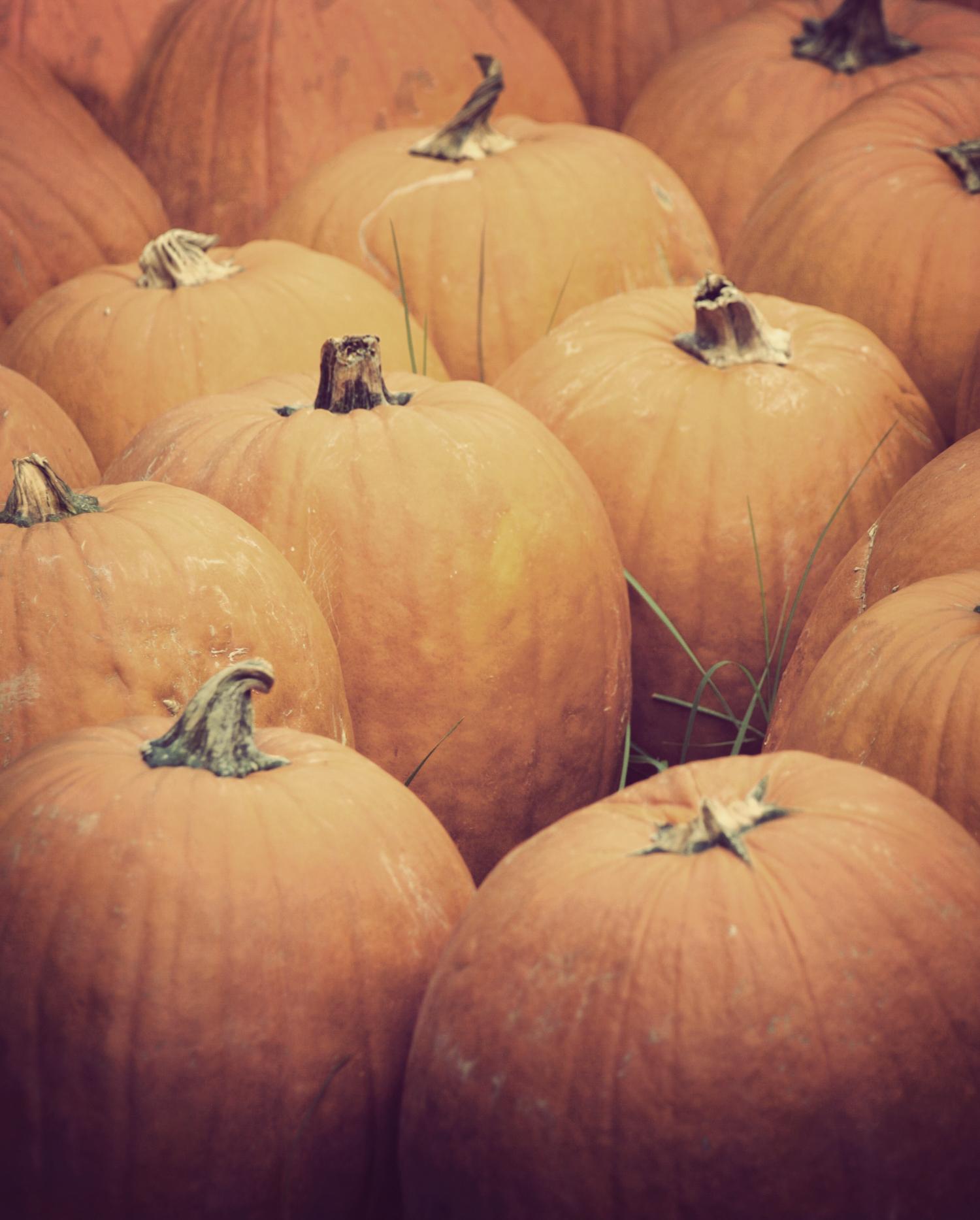 The pumpkin patch at Ganyard Hill Farm in Durham, North Carolina.|© Christy Hydeck