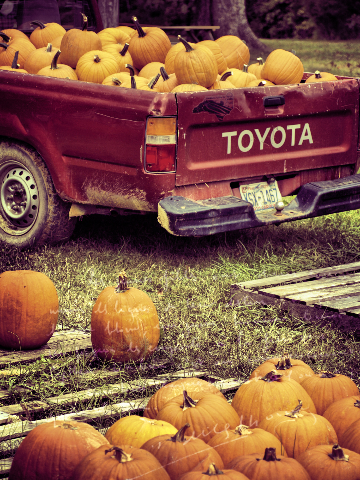Autumn pumpkins spill out of the truck beautifully and on to the ground at Ganyard Hill Farm in Durham, North Carolina.