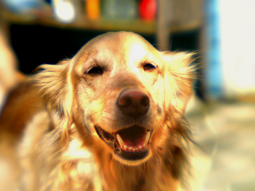 Morgan, My happy golden retriever as seen through my lensbaby lens | Raleigh, North Carolina |  © Christy Hydeck