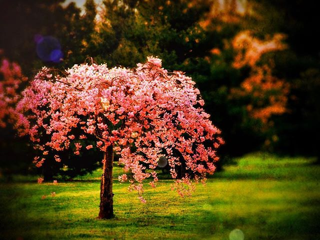 """He who plants a tree, plants a hope""- Lucy Larcom (i figured i should start posting again since my website is almost done- it's taken almost all my focus!) missed you all.  This is an old shot - taken in 2008 at the #cherryblossomfestival in #washingtondc :) #igdc"