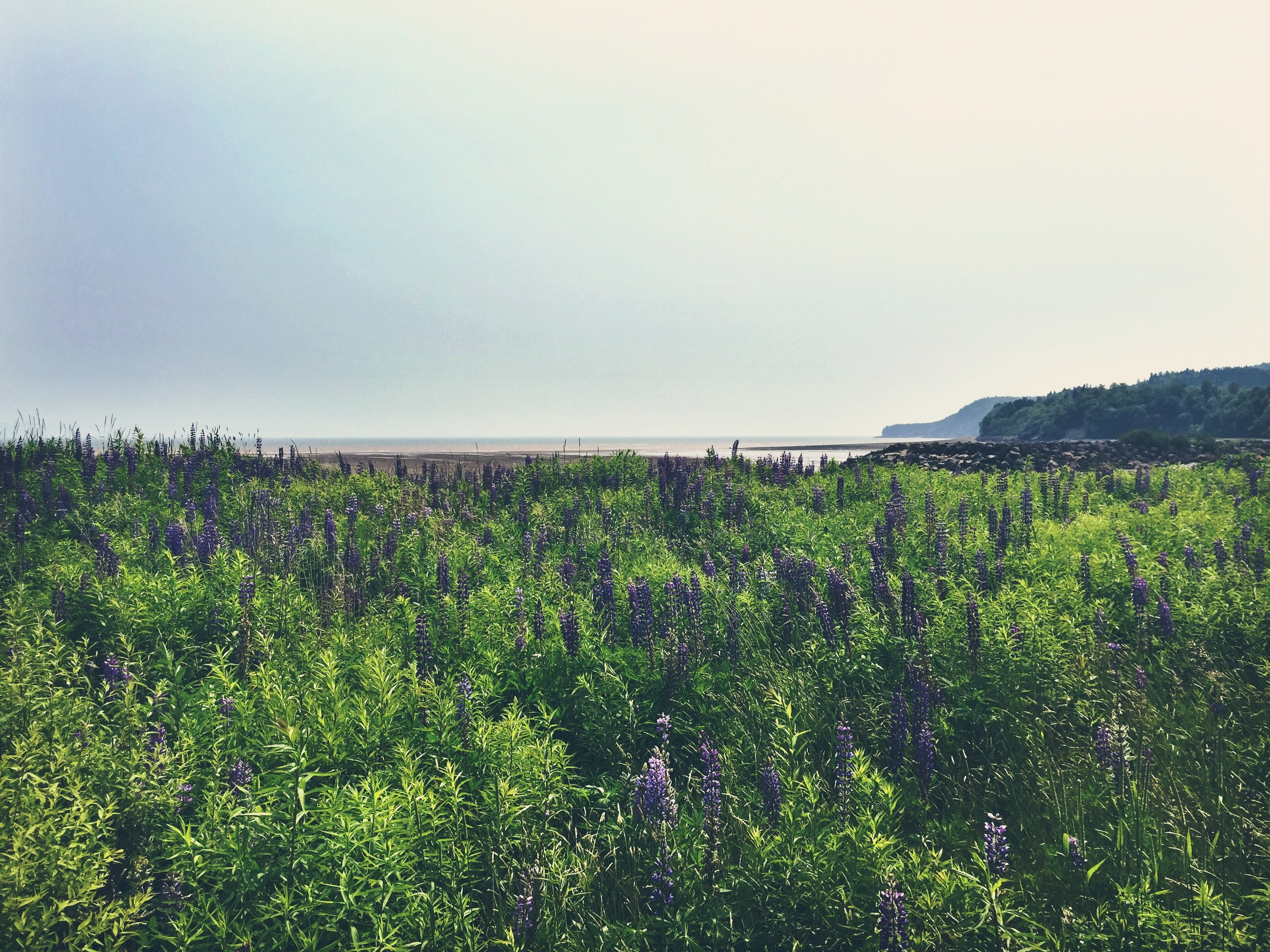 Beautiful fields of lupine in Fundy National Park.