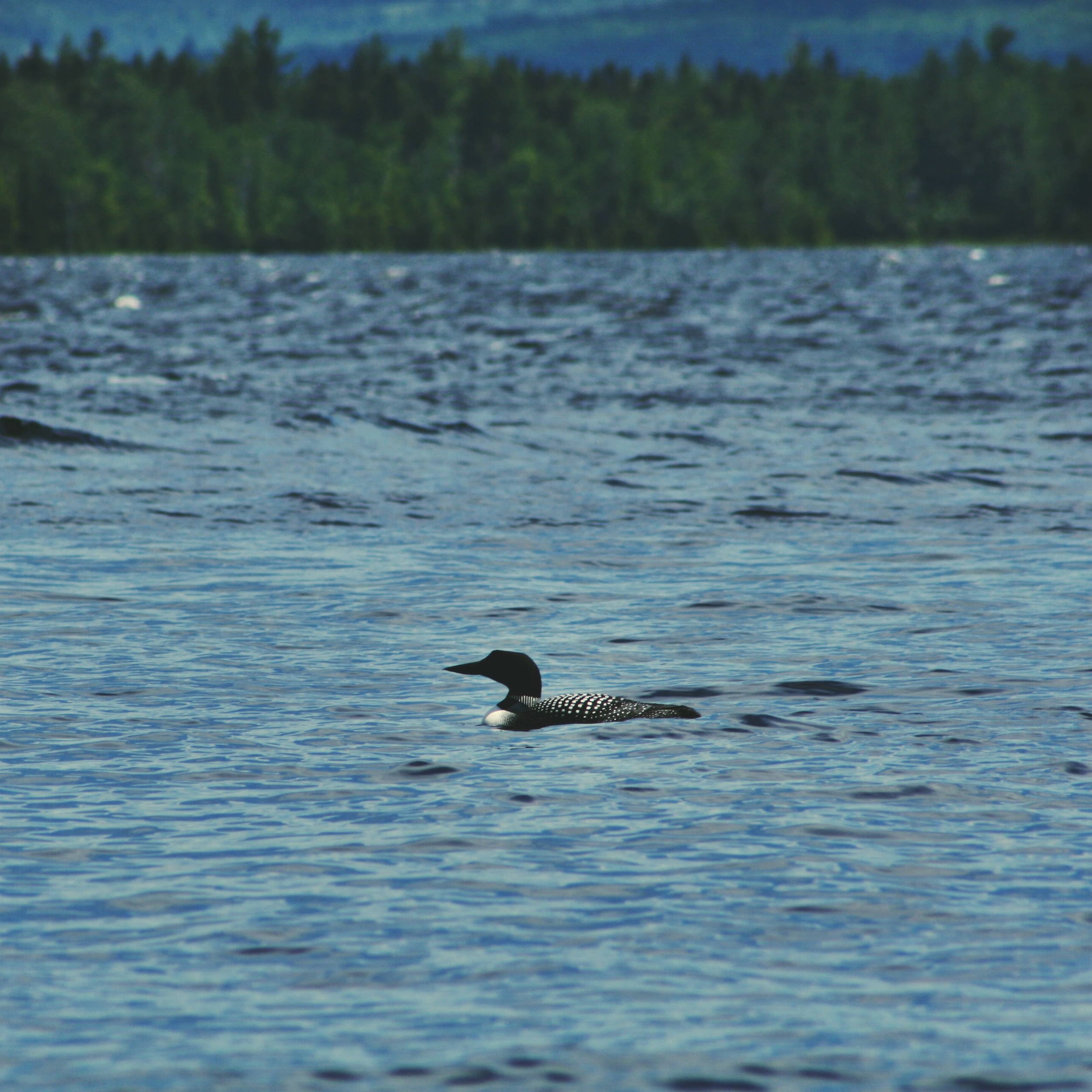 Lunar! The friendly loon who hung out in the cove next to our camp site.