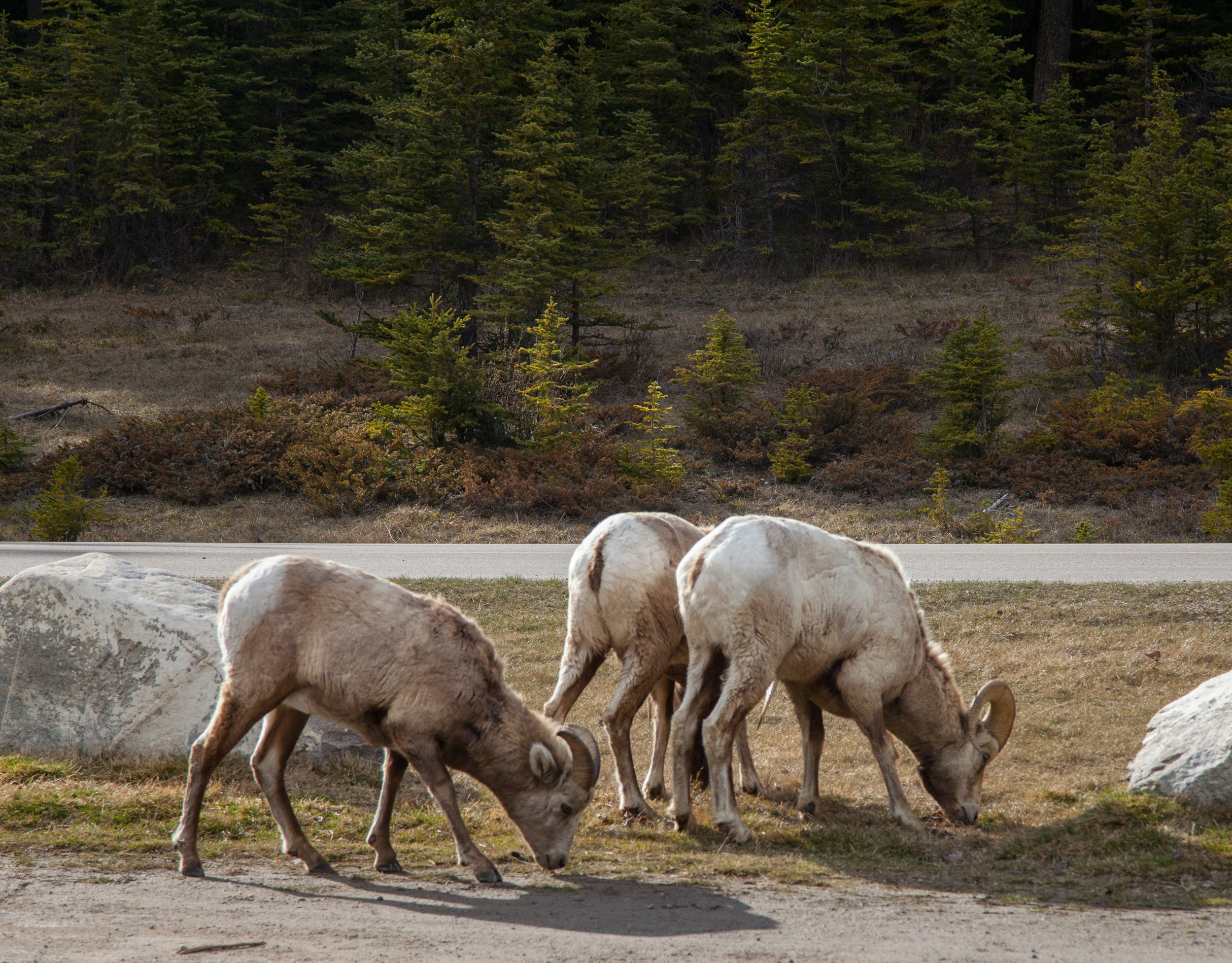 Big Horn Sheep chilling in the parking lot at Two Jack Lake