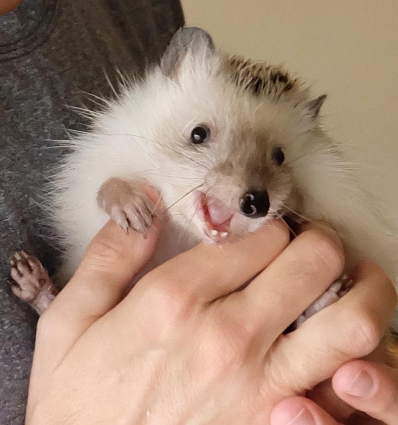 Spike, our pet hedgehog